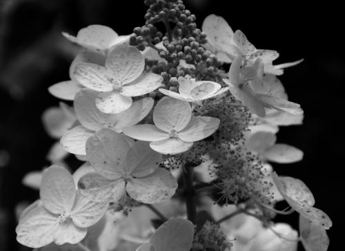 hydrangea detail in bw - lr
