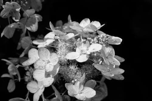hydrangea highlights - lr