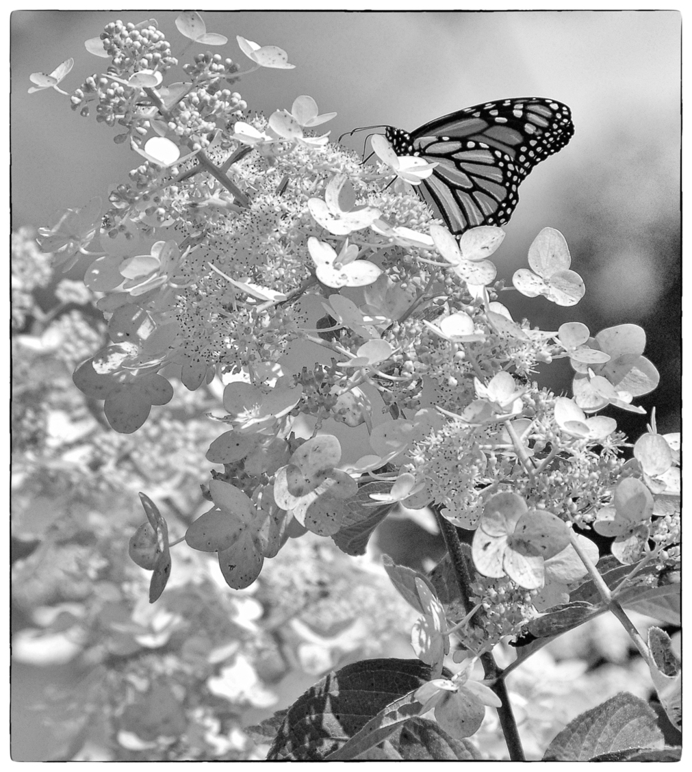 Black and white monarch butterfly tattoo