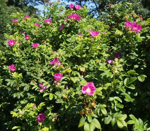 Ragusa roses