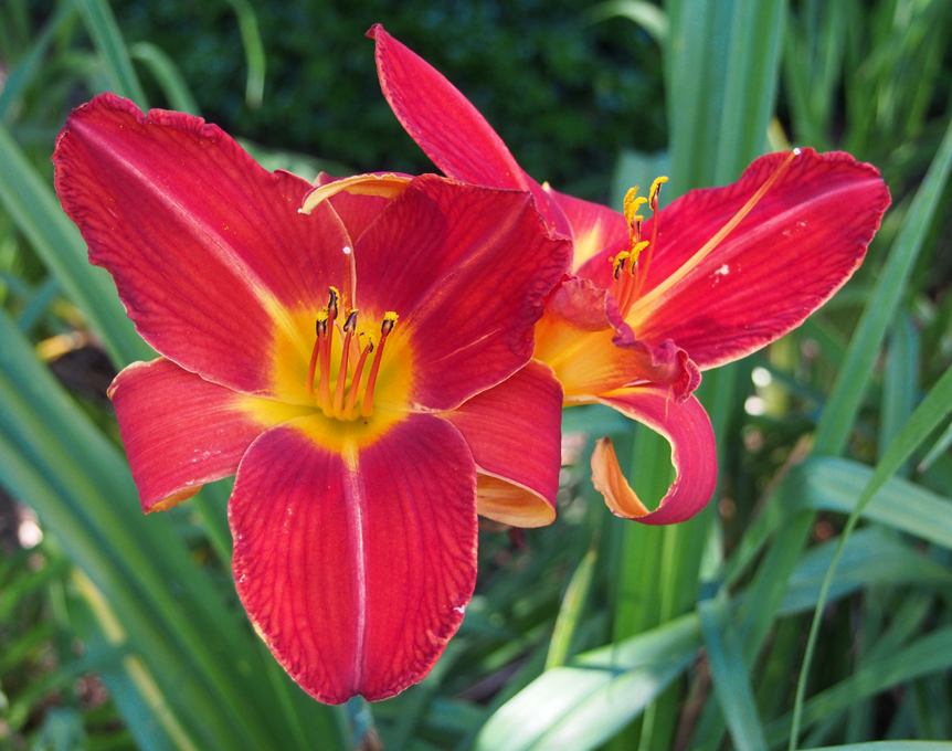 Flowers bird brains dog tales red with yellow center daylily mightylinksfo