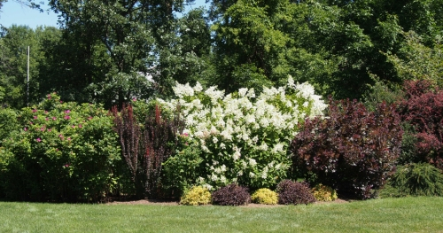 North planting with ragusa rose and hydrangea in bloom