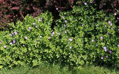 Roseanne geranium