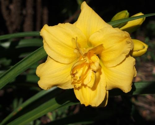yellow ruffled daylily