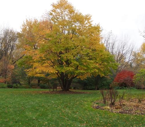 Katasura tree in fall color