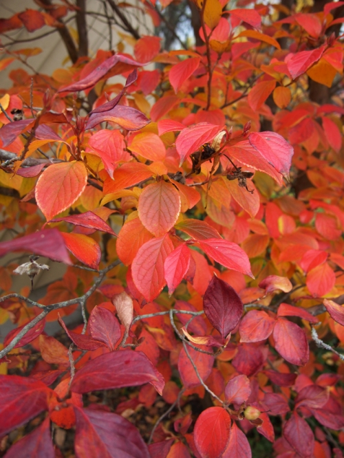 Stewartia Tree Leaves