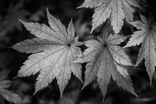 Japonicum vitifolium leaves in autumn
