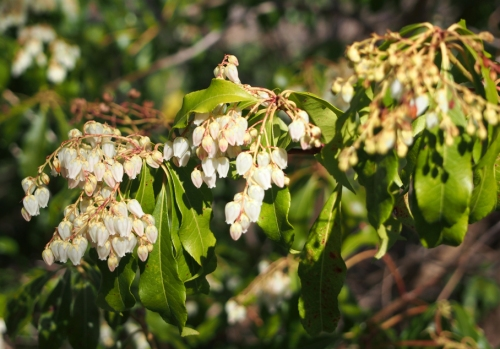 Pieris japonica shrub flowers