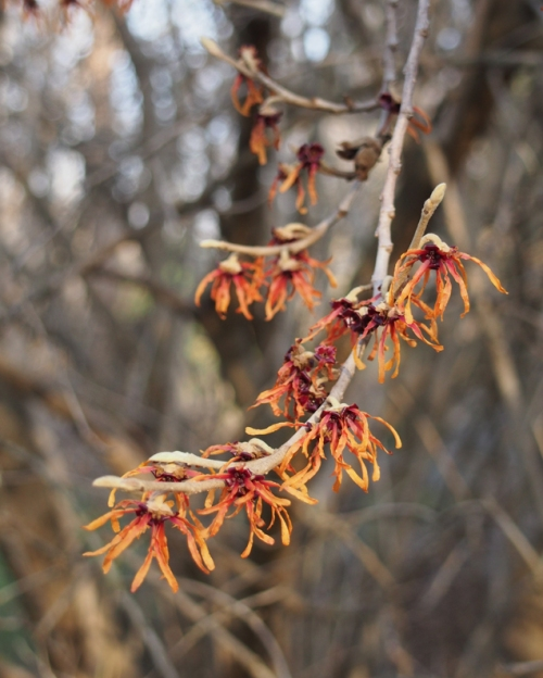 Red-orange witch hazel flowers