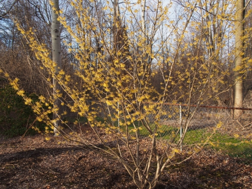 Witch hazel shrub in bloom