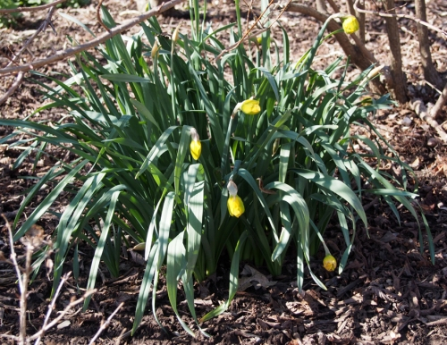 yellow daffodils - almost in bloom