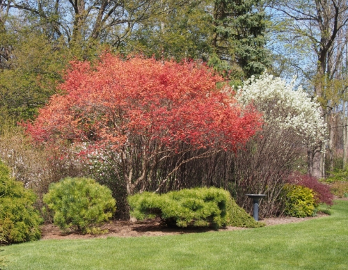 Japanese Maple Serviceberry