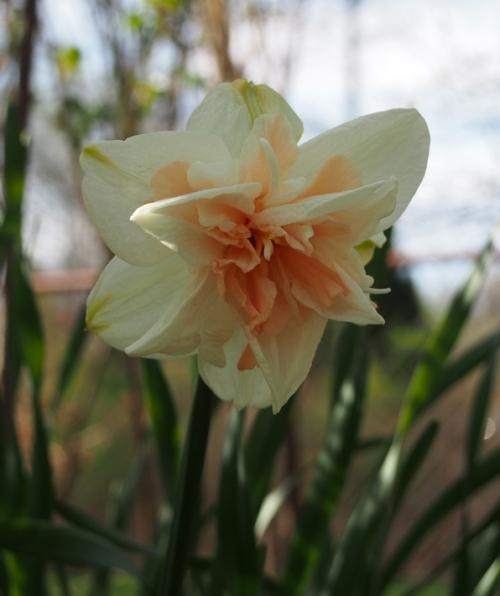 White Peach daffodil