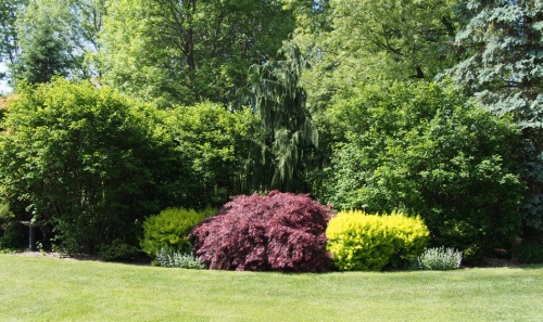 Japanese Maple with Yellow Barberry
