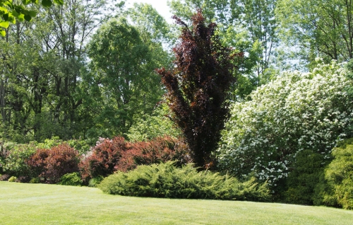 Backyard border featuring our columnar beech tree