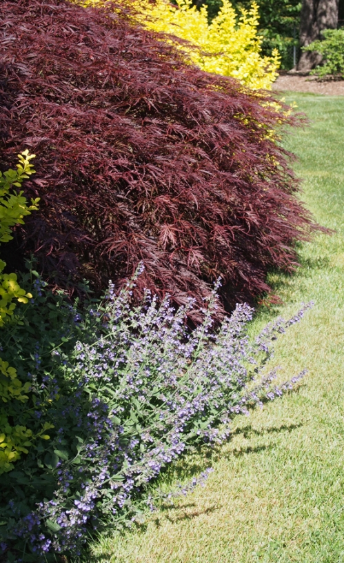 Catmint, Japanese Maple, & Yellow Barberry