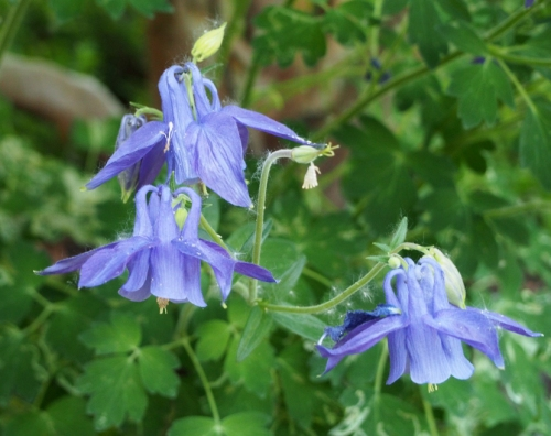 Columbine - covered in cotton