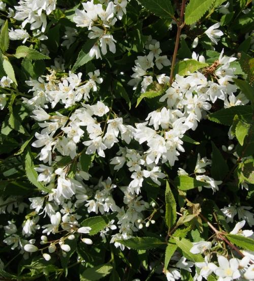 Deutsia Flowers