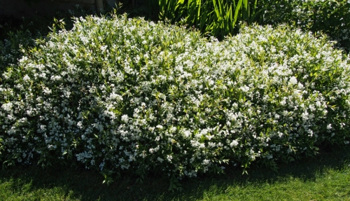 Deutsia shrub covered in flowers