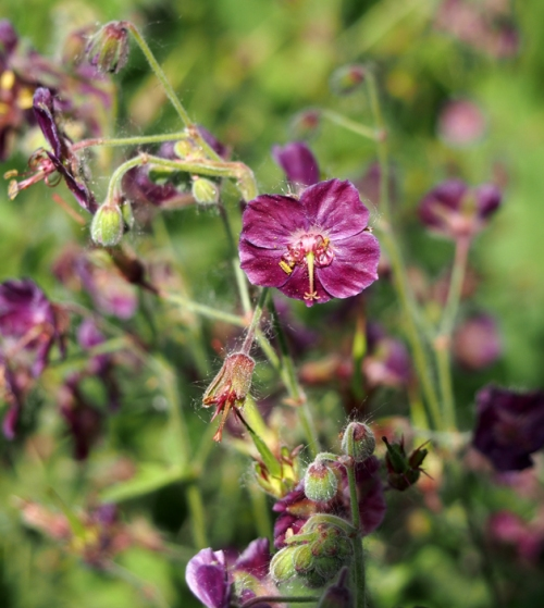 Perennial geranium with dark pink flowers