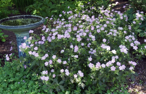 Perennial geranium with light pink flower