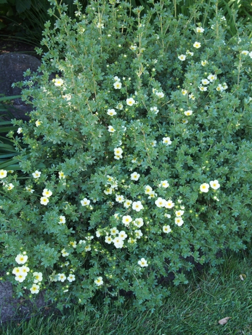 Potentilla in bloom
