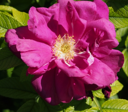 'Purple Pavement' rugosa rose