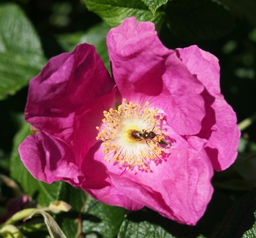 Old Fashioned Rugosa Rose with bee