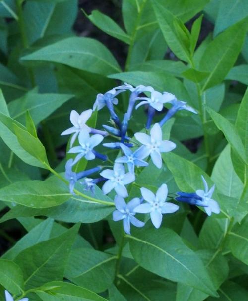 Amsonia - Blue Star