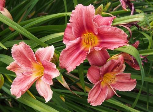 Daylily - Pink - Front yard