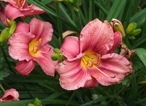 Daylily - Pink Yellow center - perennial garden