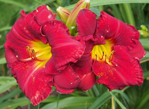 Daylily - Red Yellow center Large - patio