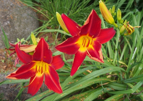 Daylily - Red Yellow center - perennial garden
