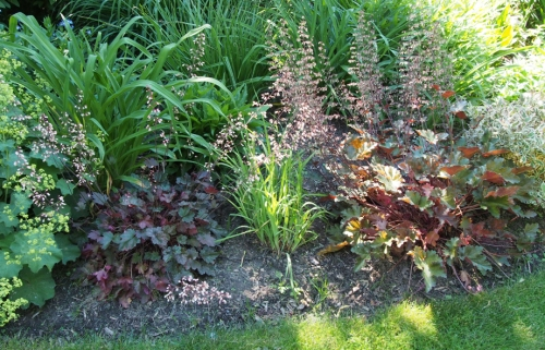 Heuchera - two varieties shown here