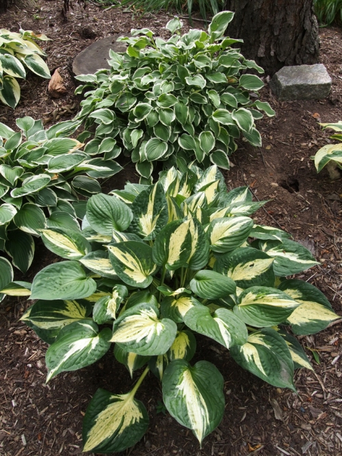 Hosta - variegated - back mound 2
