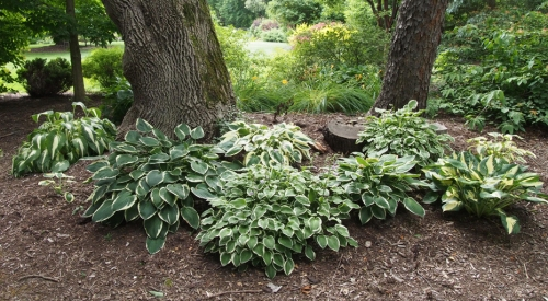 Hosta - variegated - back mound 4