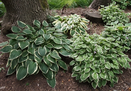 Hosta - variegated - back mound