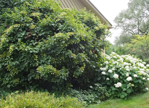 Hydrangea - Climbing - Smooth White - Garage
