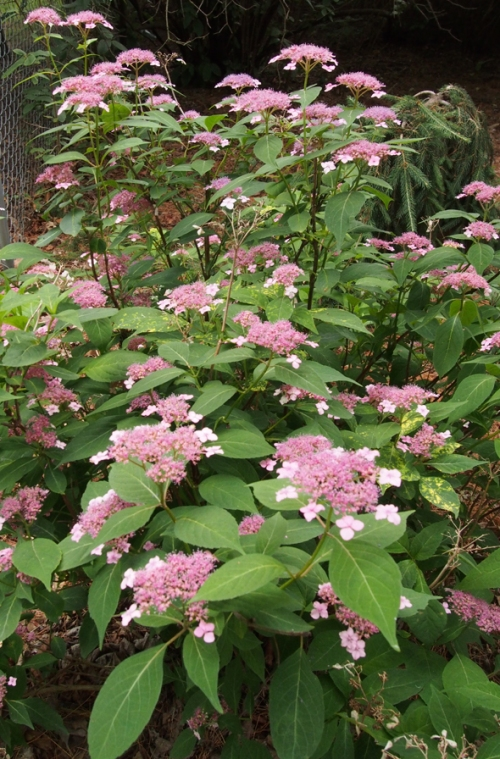Hydrangea - Lacecap - pink - back gate