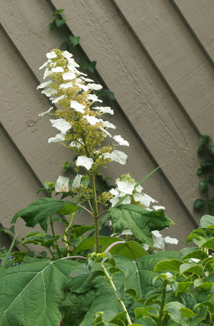 Hydrangea - Oak learf - Garage
