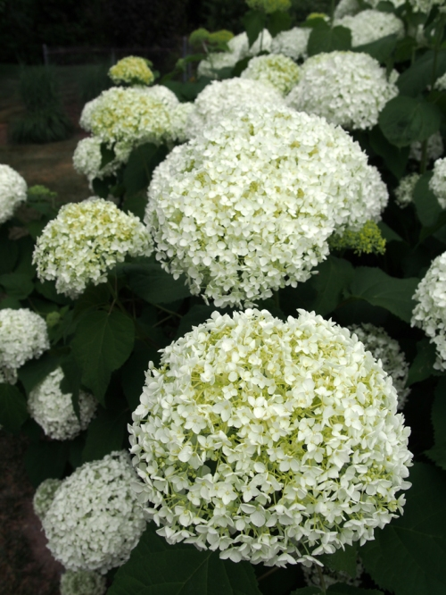 Hydrangea - Smooth White - Garage