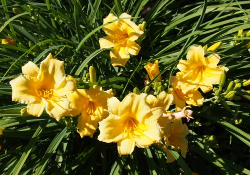 Stella D'Oro daylilies
