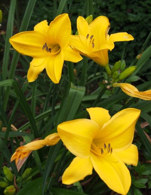 Daylily - Yellow 2