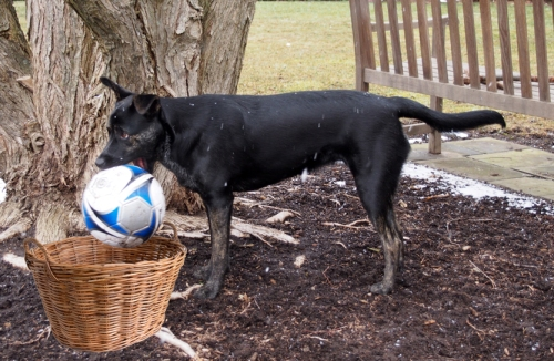 Millie - with socccer ball in mouth with basket