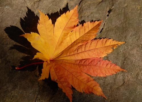 Grape leaf Japanese maple leaf