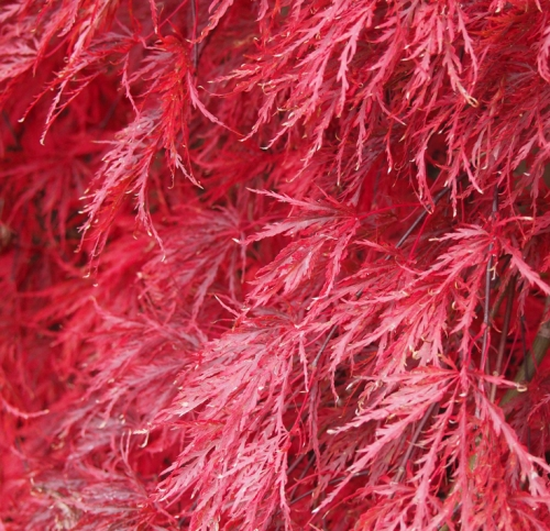 Japanese maple - feather like leaves
