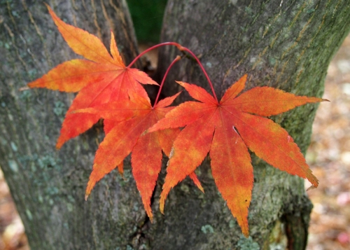 Japanese maple - leaves