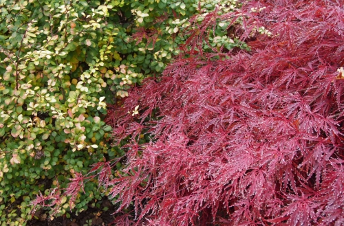 Japanese maple yellow barberry