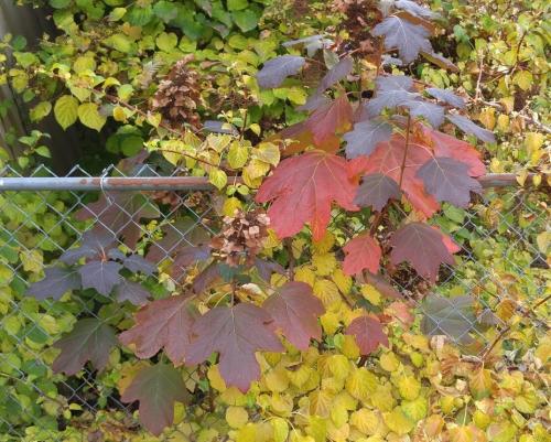 Oak leaf hydrangea (burgundy) against climbing hydrangea (yellow)