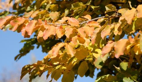 Parrotia Persica tree leaves